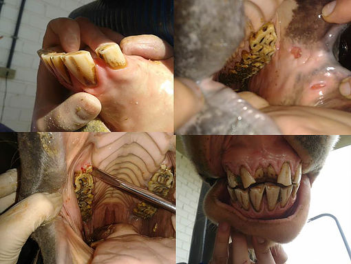 Odontologia Equina Básica